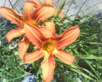 Pretty orange flower by silverHyacinth