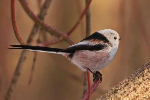 Long-tailed tit by starykocur