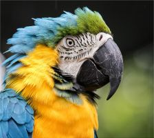 Blue and Gold Macaw. by Firey-Sunset