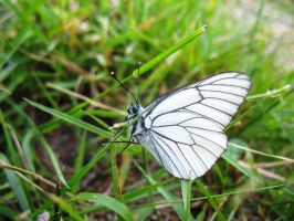 Whitened Butterfly by AdMalamCrucem