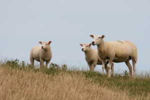 Sheep Stock 06 by Malleni-Stock