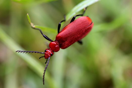 Macro Red Flat Bark Beetle by Joker-laugh
