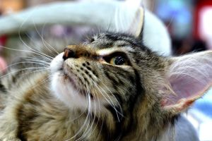 Maine Coon by Rynvord