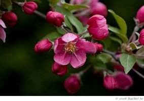 Pink Crabapple Dark by butterfly36rs