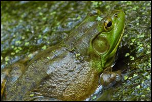 The Frog by St0DaD
