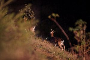 More Fallow Deer by BAproductions