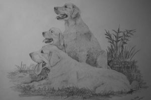 Golden retrievers by maaart90
