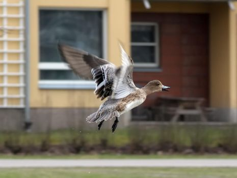 Wigeon Wings by TomiTapio