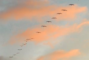 Pelican Squadron returns by Austinii