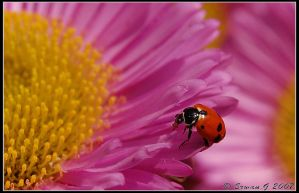 Coccinellidae 2 by Balto-Wolf