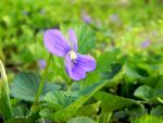 Wild Violet by dmguthery