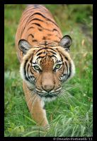 Stalking Tigress II by TVD-Photography