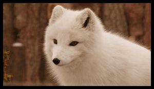 White fox by Mildy