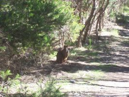 Wallaby in the wild by slayer20