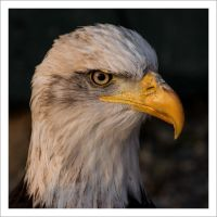 Bald Eagle 2 by wienwal