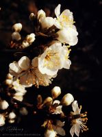 Plum tree blossoms III by selinmarsou