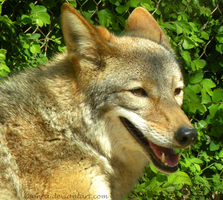 More coyote goodness by Leonca