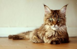 Anastasia - Maine Coon by Killing-passion