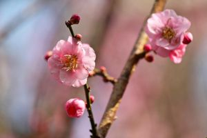 Blossomed Pink Plum II by johnchan