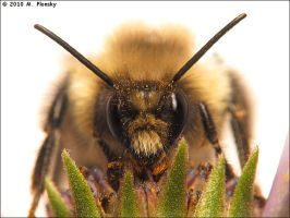 Bumble Bee Portrait by mplonsky