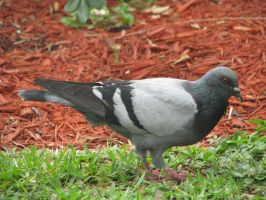 00107 - Black and Grey Pigeon by emstock