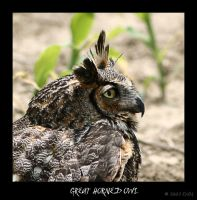 Taz the Great Horned Owl by ewm