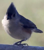 Tufted Titmouse 02 - Stock by Thy-Darkest-Hour