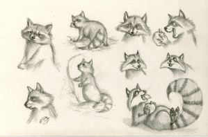 Raccoon Study by WinterImp