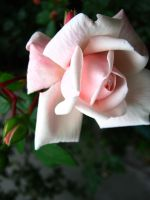 Roses by zzaarr-stock