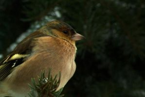 Common Chaffinch close-up by steppeland