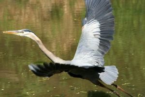 Great Blue Heron by timseydell