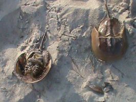 HORSE SHOE CRABS!!!!!!!! by Jaws1996