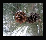 snow covered pine cones by heatherspettals