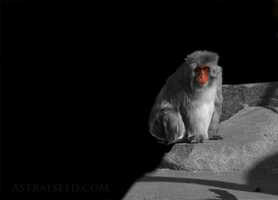 Macaque by Astralseed