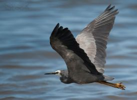 White faced Heron 07 by 88-Lawstock