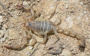 bark scorpion by Son-of-Italy