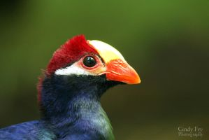 Violet Turaco by lost-nomad07