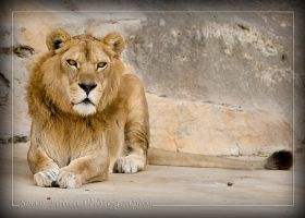 Lion by ST77