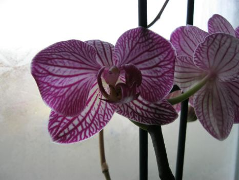 Orchids by AtomicThinkTank