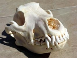 wolf skull REFERENCE SOLD by lamelobo