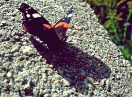 butterfly by Marees