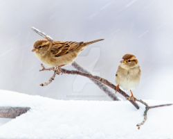 Sparrows in a snowstorm by pixelpopper