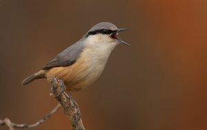 Rock nuthatch by Suppi-lu-liuma