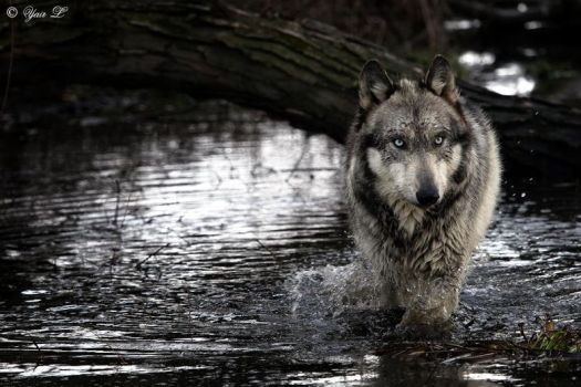 gray wolf river by Yair-Leibovich