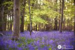 Bluebell Woodland by thesashabell
