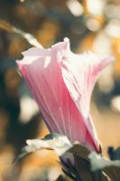 Rose of Sharon by ProjectDarkling