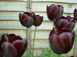 tulips by an-honest-mistake