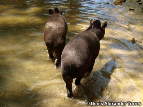 Partners Tapirs by torreoso