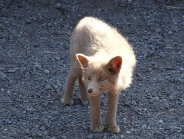 Red fox kit by Track-Maidens