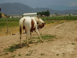 Paint Gelding 9 .:Stock:. by WesternStock